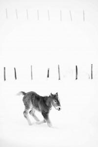 Potrillo jugando entre la nieve. Uncir. Campoo devanado.