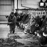 Atendiendo el ganado en Olea. Tresnar. Campoo devanado.