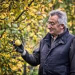 Recogiendo manzanas para hacer SIDRA LA CORUJA, en Sobrepeña de Ebro.Tresnar. Campoo devanado.