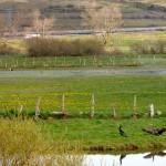 Cormoranes y cigueñas en la ribera del Izarilla.