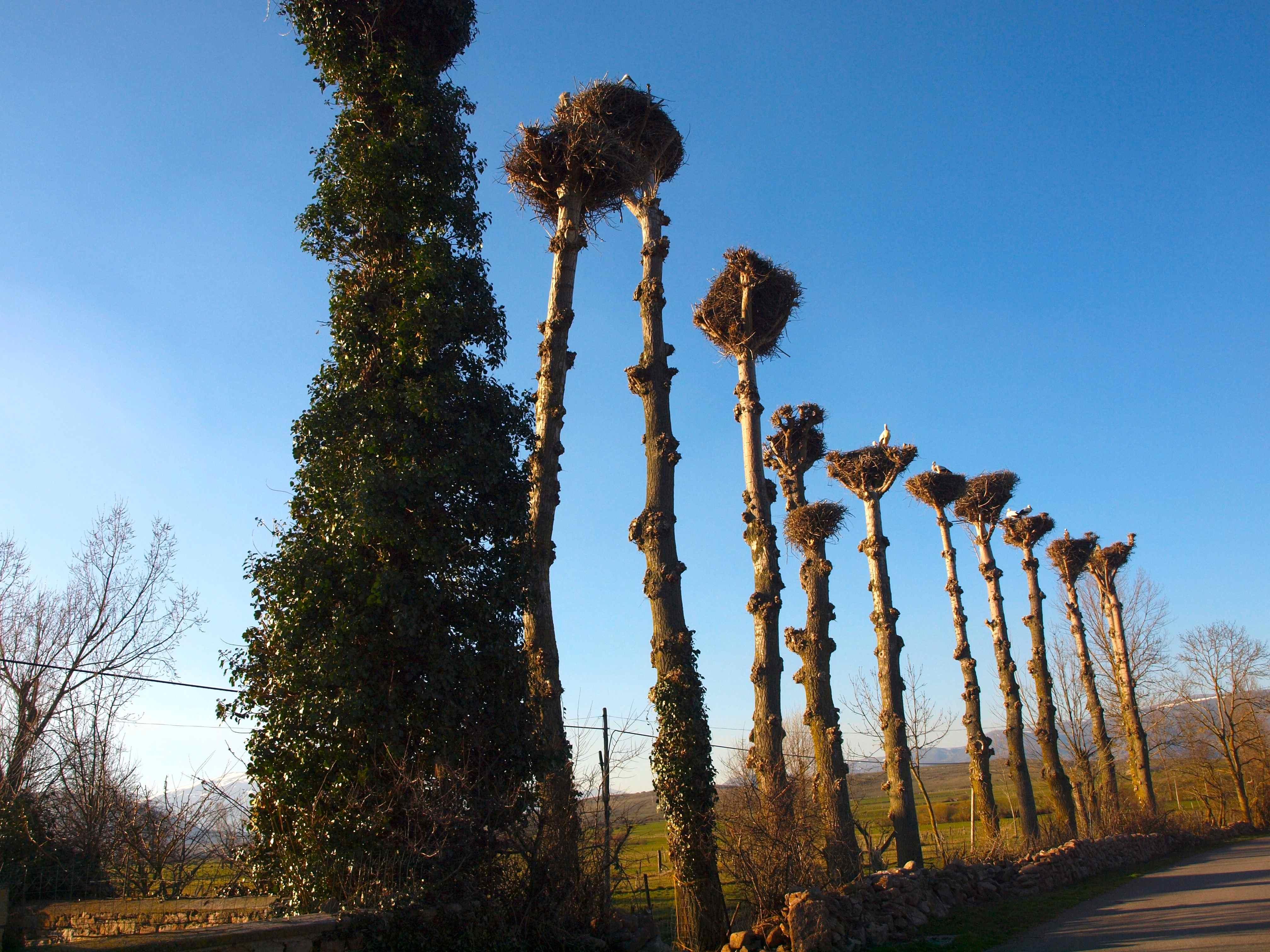 Nidos de cigüeñas a la entrada de Villaescusa.